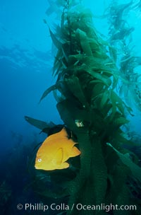 Garibaldi and kelp forest. San Clemente Island, California, USA, Hypsypops rubicundus, Macrocystis pyrifera, natural history stock photograph, photo id 02510