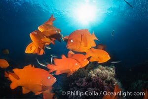 Garibaldi, Coronado Islands, Hypsypops rubicundus, Coronado Islands (Islas Coronado)