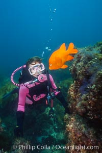 Diver and garibaldi. Catalina Island, California, USA, Hypsypops rubicundus, natural history stock photograph, photo id 02989