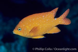 Garibaldi. San Clemente Island, California, USA, Hypsypops rubicundus, natural history stock photograph, photo id 04618