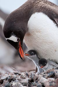 Gentoo penguin tending to its two chicks.  The nest is made of small stones. Cuverville Island, Antarctic Peninsula, Antarctica, Pygoscelis papua, natural history stock photograph, photo id 25506