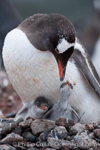 Gentoo penguin tending to its two chicks.  The nest is made of small stones, Pygoscelis papua, Cuverville Island