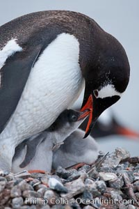 Gentoo penguin, adult tending to its two chicks, on a nest made of small stones.  The chicks will remain in the nest for about 30 days after hatching. Cuverville Island, Antarctic Peninsula, Antarctica, Pygoscelis papua, natural history stock photograph, photo id 25514