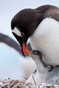 Gentoo penguin, adult tending to its two chicks, on a nest made of small stones.  The chicks will remain in the nest for about 30 days after hatching, Pygoscelis papua, Cuverville Island