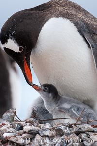 Gentoo penguin tending to its two chicks.  The nest is made of small stones. Cuverville Island, Antarctic Peninsula, Antarctica, Pygoscelis papua, natural history stock photograph, photo id 25545