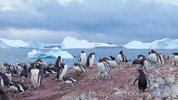 Gentoo penguin colony, Cuverville Island. Cuverville Island, Antarctic Peninsula, Antarctica, Pygoscelis papua, natural history stock photograph, photo id 25533