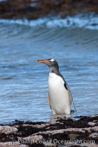 Gentoo penguin, returning from the sea after foraging for crustaceans, krill and fish, Pygoscelis papua, Carcass Island
