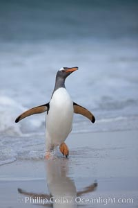 "Gentoo penguin coming ashore, after foraging at sea, walking through ocean water as it wades onto a sand beach.  Adult gentoo penguins grow to be 30"" and 19lb in size.  They feed on fish and crustaceans.  Gentoo penguins reside in colonies well inland from the ocean, often formed of a circular collection of stones gathered by the penguins, Pygoscelis papua, New Island"
