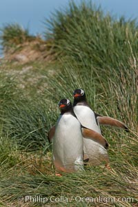 Gentoo penguins walk through tussock grass.  After foraging in the ocean for food, the penguins make their way to the interior of the island to rest at their colony, Pygoscelis papua, Carcass Island