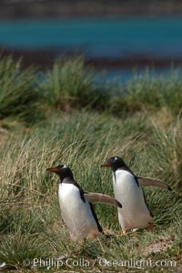 Magellanic penguins walk through tussock grass.  After foraging in the ocean for food, the penguins make their way to the interior of the island to rest at their colony, Pygoscelis papua, Carcass Island