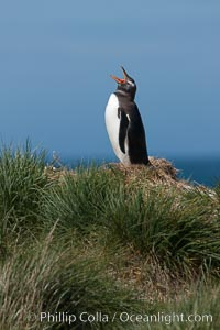 Gentoo penguin, vocalizing, atop of hill of tall tussock grass, Pygoscelis papua, Carcass Island