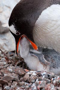 Image 25541, Gentoo penguin feeding its chick, the regurgitated food likely consisting of crustaceans and krill. Cuverville Island, Antarctic Peninsula, Antarctica, Pygoscelis papua