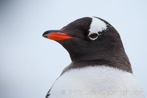 Gentoo penguin portrait, Pygoscelis papua, Cuverville Island