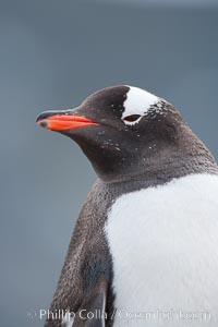 Gentoo penguin portrait. Cuverville Island, Antarctic Peninsula, Antarctica, Pygoscelis papua, natural history stock photograph, photo id 25543