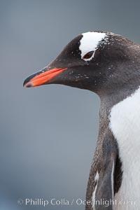 Gentoo penguin portrait. Cuverville Island, Antarctic Peninsula, Antarctica, Pygoscelis papua, natural history stock photograph, photo id 25544
