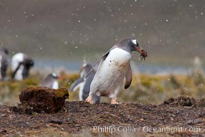 Image 24719, Gentoo penguin stealing nesting material, moving it from one nest to another. Godthul, South Georgia Island, Pygoscelis papua