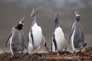 Gentoo penguins, calling, heads raised. Godthul, South Georgia Island, Pygoscelis papua, natural history stock photograph, photo id 24720