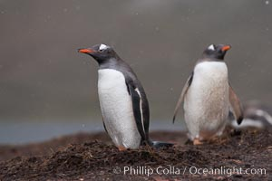 Gentoo penguins at their nest, snow falling, Pygoscelis papua, Godthul