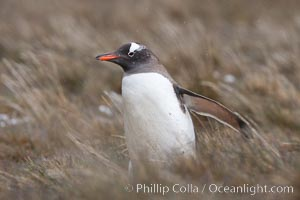 Gentoo penguin walking through tall grass, Pygoscelis papua, Godthul
