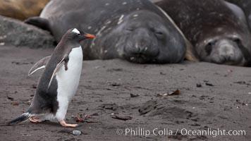 Gentoo penguin, Pygoscelis papua, Livingston Island