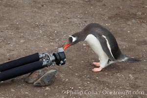 Gentoo penguin inspects camera tripod, Pygoscelis papua, Livingston Island
