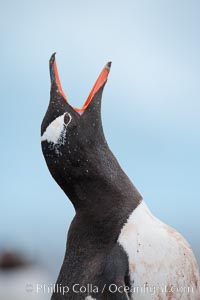 Gentoo penguin vocalizing, calling, Pygoscelis papua, Cuverville Island