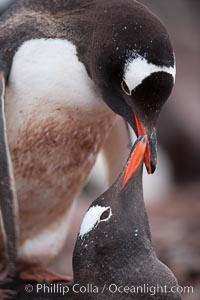 Gentoo penguins, two adults displaying courting or nurturing behavior in a mated pair, Pygoscelis papua, Cuverville Island