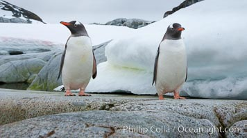 Gentoo penguins, Peterman Island, Antarctica, Pygoscelis papua