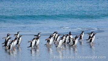 Gentoo penguins coming ashore, after foraging at sea, walking through ocean water as it wades onto a sand beach.  Adult gentoo penguins grow to be 30&#34; and 19lb in size.  They feed on fish and crustaceans.  Gentoo penguins reside in colonies well inland from the ocean, often formed of a circular collection of stones gathered by the penguins, Pygoscelis papua, New Island