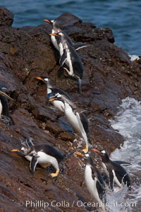 Gentoo penguins leap ashore, onto slippery rocks as they emerge from the ocean after foraging at sea for food, Pygoscelis papua, Steeple Jason Island