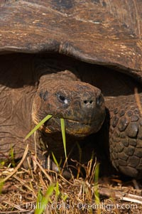 Galapagos tortoise, Santa Cruz Island species, highlands of Santa Cruz island. Santa Cruz Island, Galapagos Islands, Ecuador, Geochelone nigra, natural history stock photograph, photo id 16481