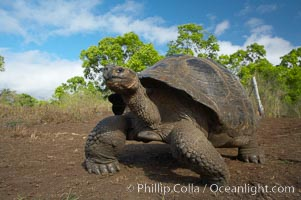 Galapagos tortoise, Santa Cruz Island species, highlands of Santa Cruz island. Santa Cruz Island, Galapagos Islands, Ecuador, Geochelone nigra, natural history stock photograph, photo id 16490
