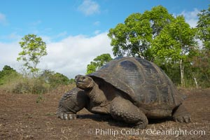 Galapagos tortoise, Santa Cruz Island species, highlands of Santa Cruz island, Geochelone nigra