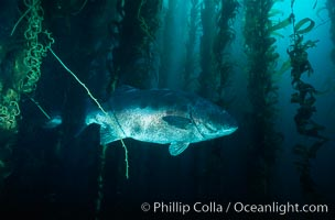 Giant black seabass in kelp forest. San Clemente Island, California, USA, Stereolepis gigas, Macrocystis pyrifera, natural history stock photograph, photo id 06265