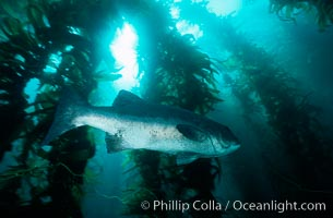 Giant black seabass in kelp forest. San Clemente Island, California, USA, Stereolepis gigas, Macrocystis pyrifera, natural history stock photograph, photo id 06267