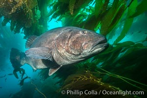 Underwater Photos of Giant Black Sea Bass, Stereolepis gigas, in Catalina
