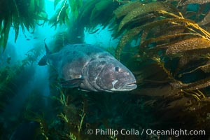 Giant black sea bass, endangered species, reaching up to 8' in length and 500 lbs, amid giant kelp forest. Catalina Island, California, USA, Stereolepis gigas, natural history stock photograph, photo id 33365