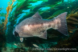 Giant black sea bass, endangered species, reaching up to 8' in length and 500 lbs, amid giant kelp forest. Catalina Island, California, USA, Stereolepis gigas, natural history stock photograph, photo id 33370
