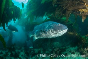 Giant black sea bass, endangered species, reaching up to 8' in length and 500 lbs, amid giant kelp forest. Catalina Island, California, USA, Stereolepis gigas, natural history stock photograph, photo id 33375