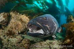 Giant black sea bass, endangered species, reaching up to 8' in length and 500 lbs, amid giant kelp forest. Catalina Island, California, USA, Stereolepis gigas, natural history stock photograph, photo id 33378