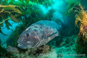 Giant black sea bass, endangered species, reaching up to 8' in length and 500 lbs, amid giant kelp forest. Catalina Island, California, USA, Stereolepis gigas, natural history stock photograph, photo id 33383