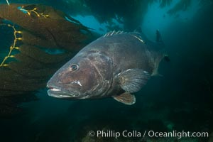 Giant black sea bass with research tag, endangered species, reaching up to 8' in length and 500 lbs, amid giant kelp forest. Catalina Island, California, USA, Stereolepis gigas, natural history stock photograph, photo id 33392