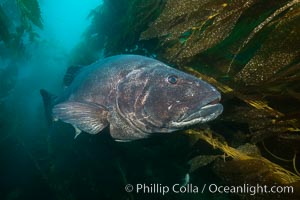 Giant black sea bass, endangered species, reaching up to 8' in length and 500 lbs, amid giant kelp forest. Catalina Island, California, USA, Stereolepis gigas, natural history stock photograph, photo id 33419