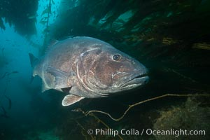 Giant black sea bass, endangered species, reaching up to 8' in length and 500 lbs, amid giant kelp forest. Catalina Island, California, USA, Stereolepis gigas, natural history stock photograph, photo id 33429
