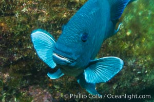 Giant damselfish, Sea of Cortez, Baja California, Mexico, Microspathodon dorsalis