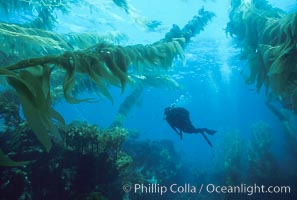 A SCUBA diver swims through a giant kelp forest which is tilted back by strong ocean currents.   Giant kelp, the fastest plant on Earth, reaches from the rocky bottom to the ocean's surface like a submarine forest, Macrocystis pyrifera, San Clemente Island