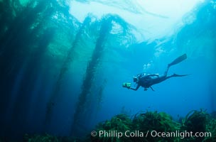 Diver and kelp forest, Macrocystis pyrifera, San Benito Islands (Islas San Benito)