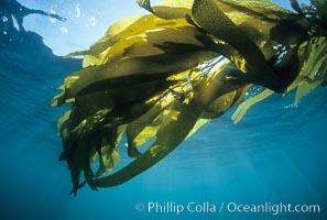 Kelp canopy, Macrocystis pyrifera, San Nicholas Island