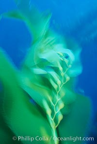 Kelp frond in motion, time exposure, Macrocystis pyrifera, Santa Barbara Island