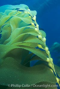 Kelp frond showing pneumatocysts, Macrocystis pyrifera, Santa Barbara Island
